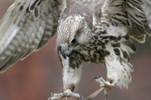 Birds of Prey Photography Courses North West